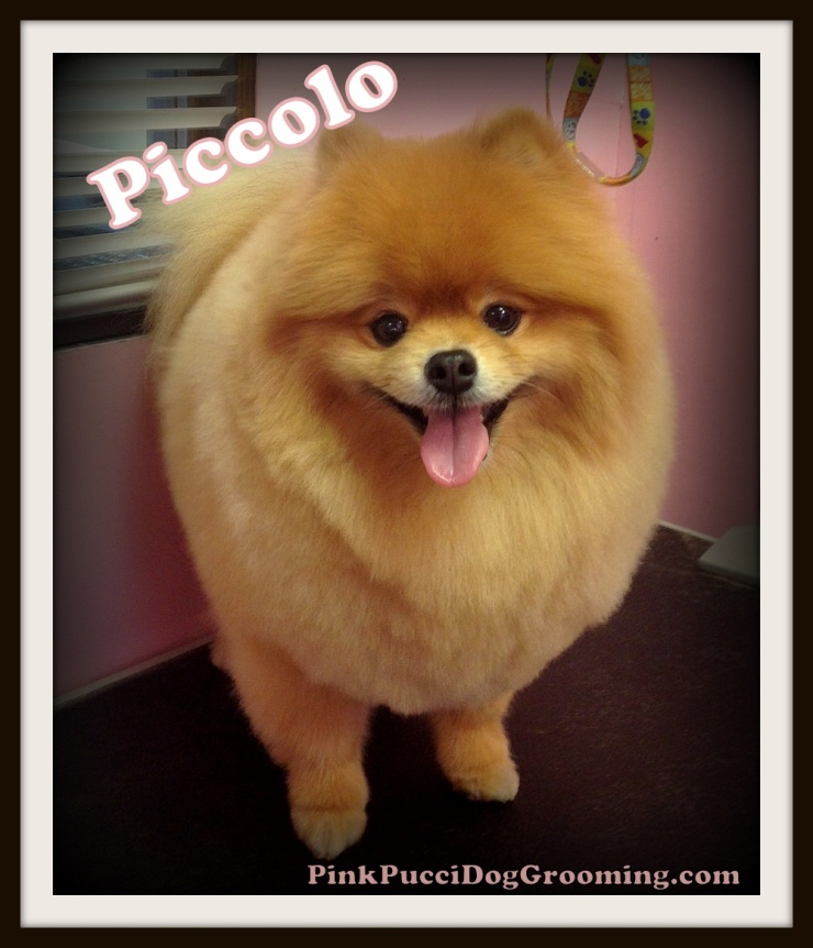 Piccolo the Pomeranian
