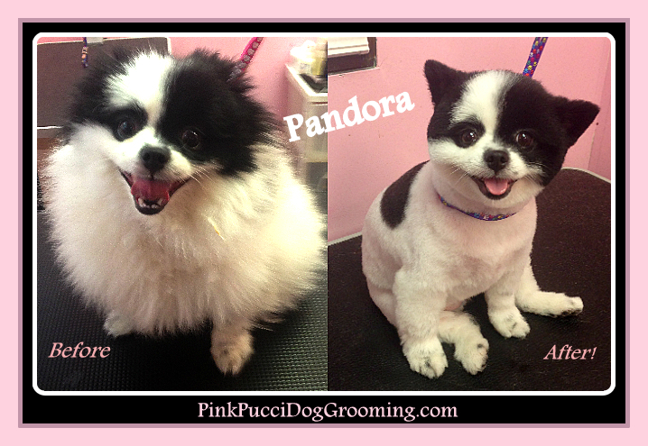 Pandora the Pomeranian Before After