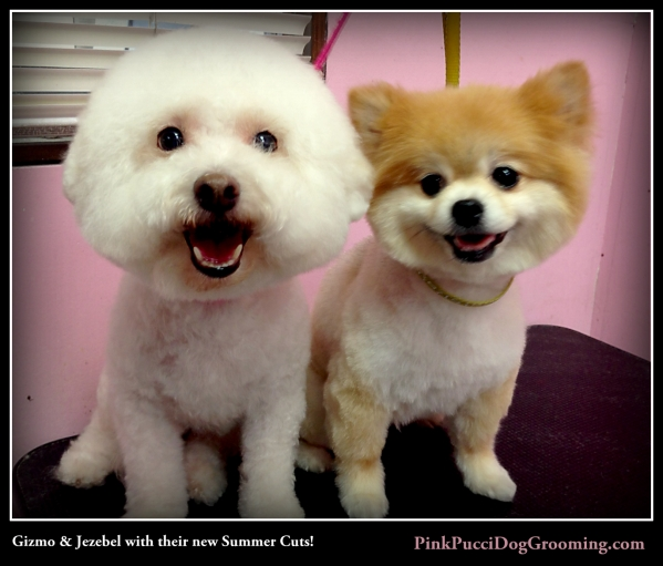 Gizmo the Bichon and Jezebel the Pomerianian