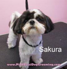 sakura the shih tzu
