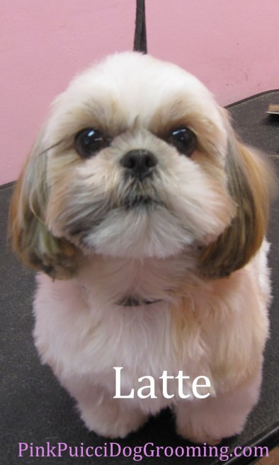 latte the shih tzu