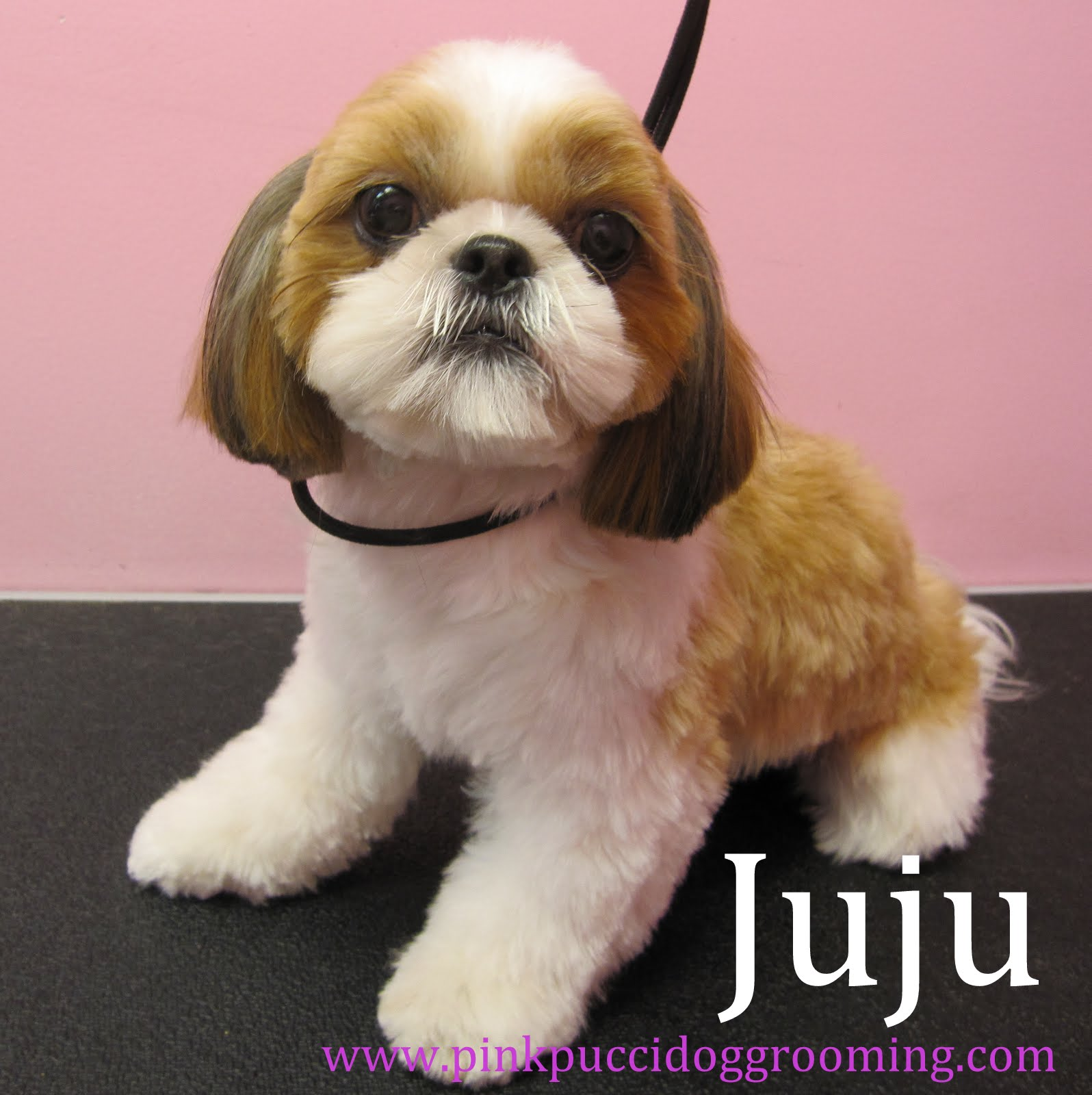 Shih Tzu Dog Grooming Examples Pink Pucci