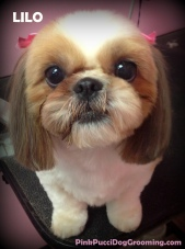 lilo the shih tzu