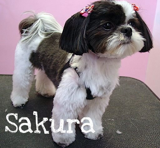shih tzu pictures of haircuts shih tzu grooming examples pink pucci 3473
