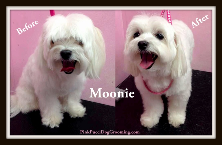 Moonie the Maltese Before and After Grooming Example