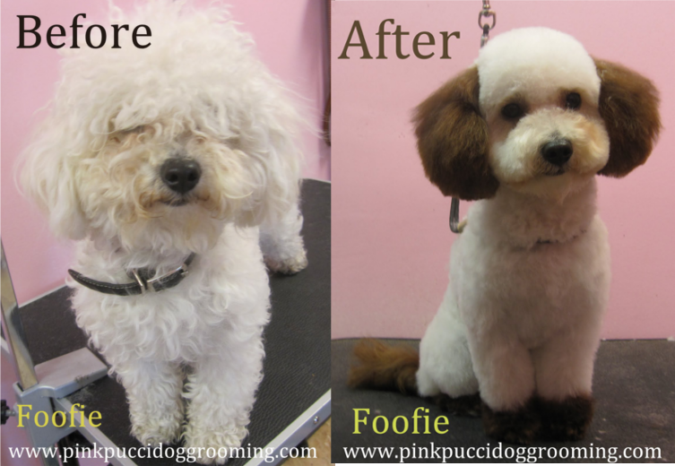 Toy Poodle & Maltipoo Grooming Examples – Pink Pucci