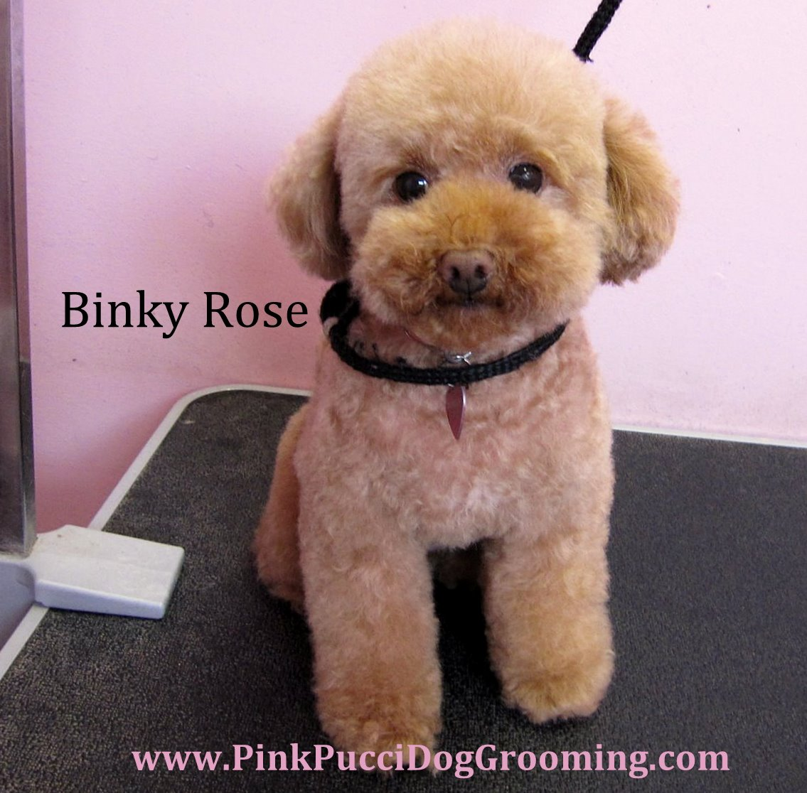 toy poodle amp maltipoo grooming examples torrance dog