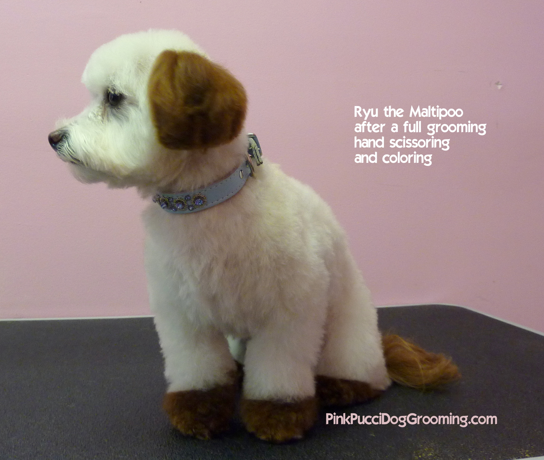 Toy Poodle Maltipoo Grooming Examples Pink Pucci