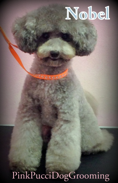 Nobel the Toy Poodle