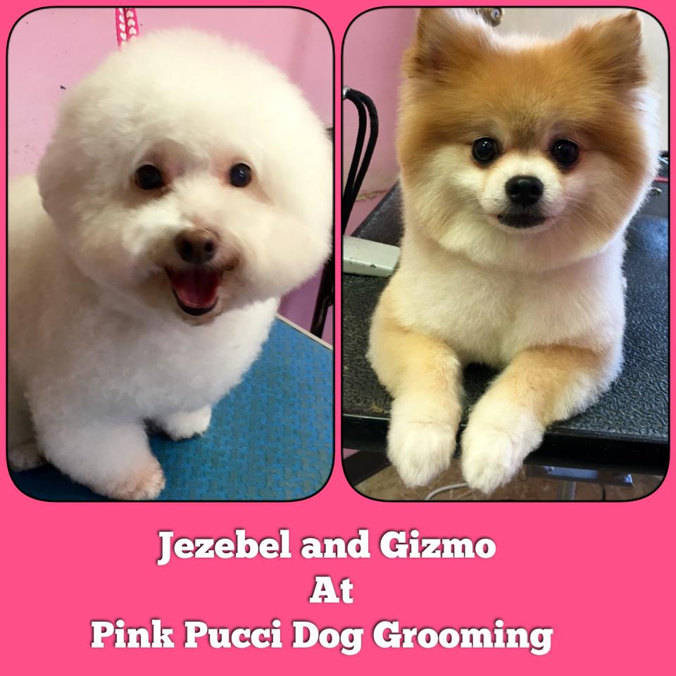 Pomeranian And Bichon Frise Cut To Perfection Pink Pucci